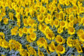 Free Sunflower Field Stock Photo - 10051400