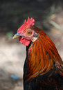 Free Rooster Royalty Free Stock Photos - 10052778
