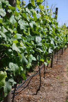 Free Vineyard Stock Photos - 10050203
