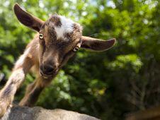 Free Baby Goat Stock Image - 10051091