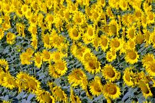 Free Sunflower Field Stock Photo - 10051400