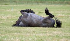 Free Mold Horse Is Rolling On His Back Stock Photo - 10051540