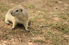 Free Curious Prairie Dog Royalty Free Stock Image - 10053446