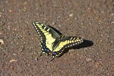 Free Tiger Swallowtail Butterfly Royalty Free Stock Photography - 10053627
