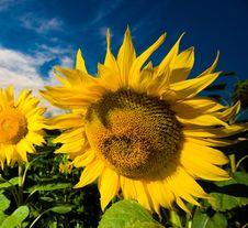 Free Gold Sunflowers Stock Image - 10054691