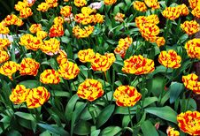 Free Tulip Stock Image - 10055141