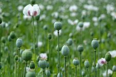 Free Poppy In The Field Royalty Free Stock Photos - 10055178
