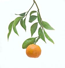 Tangerine On Branch Royalty Free Stock Photography