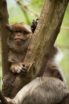 Free Rhesus Macaque Royalty Free Stock Photos - 10055648