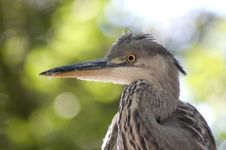 Free Great Blue Heron Head Shot Royalty Free Stock Photo - 10056265