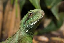Free Colorful Portrait Of An Iguana Royalty Free Stock Photo - 10056305