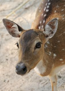 Free Young Deer Royalty Free Stock Photos - 10056908