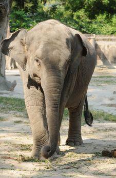 Free Young Elephant Stock Photo - 10056950