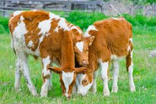 Free Three Calf Feeding On A Lawn Stock Image - 10056961
