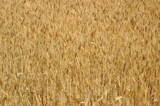 Free Golden Wheat Background Stock Photo - 10057250
