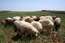 Free Sheep Stock Image - 10057381