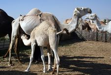 Free Camels Stock Photography - 10057512
