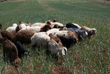 Free Sheep Stock Images - 10057614