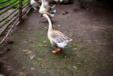 Free Goose On A Farm Stock Images - 10059364