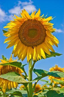 Free Sunflower Stock Photos - 10059403