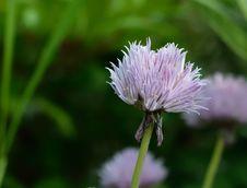 Free Flower, Purple, Thistle, Flora Royalty Free Stock Photo - 100554035