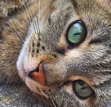 Free Cat, Whiskers, Face, Fauna Stock Photo - 100554470