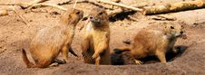 Free Meerkat, Mammal, Fauna, Terrestrial Animal Stock Photography - 100569882