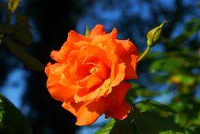 Free Flower, Rose Family, Rose, Flora Royalty Free Stock Photos - 100569968