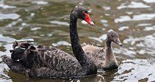 Free Black Swan, Water Bird, Ducks Geese And Swans, Bird Stock Photography - 100570042