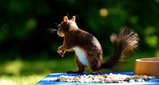 Free Squirrel, Fauna, Mammal, Rodent Royalty Free Stock Image - 100570126