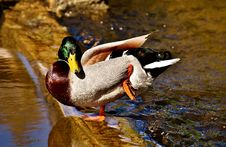 Free Duck, Bird, Water, Water Bird Royalty Free Stock Photography - 100570137