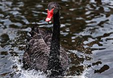 Free Black Swan, Bird, Water Bird, Ducks Geese And Swans Stock Photos - 100570313