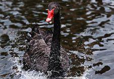 Free Black Swan, Bird, Water Bird, Ducks Geese And Swans Stock Photos - 100570313