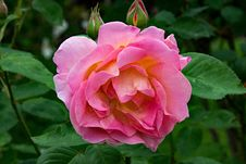 Free Flower, Rose, Rose Family, Plant Stock Photography - 100570592