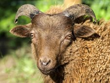 Free Horn, Sheep, Wildlife, Cow Goat Family Royalty Free Stock Photos - 100570848