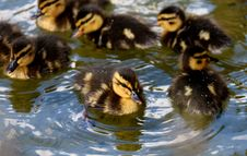 Free Duck, Bird, Ducks Geese And Swans, Water Bird Stock Photos - 100570993