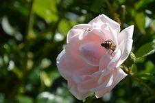 Free Flower, Rose, Rose Family, Pink Stock Photos - 100571103