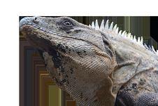 Free Reptile, Scaled Reptile, Iguana, Fauna Stock Photo - 100571310