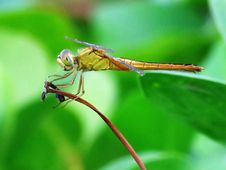 Free Insect, Dragonfly, Dragonflies And Damseflies, Damselfly Royalty Free Stock Photos - 100571358