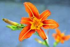 Free Flower, Lily, Orange, Flora Stock Photography - 100571602