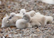 Free Bird, Fauna, Water Bird, Ducks Geese And Swans Royalty Free Stock Photos - 100571618