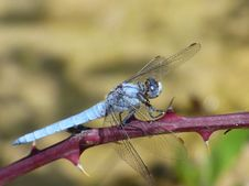 Free Dragonfly, Insect, Dragonflies And Damseflies, Invertebrate Royalty Free Stock Images - 100571739