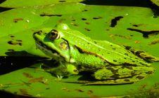 Free Ranidae, Amphibian, Frog, Ecosystem Royalty Free Stock Images - 100572579