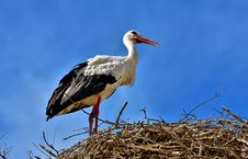 Free Bird, White Stork, Stork, Ciconiiformes Royalty Free Stock Photos - 100572898