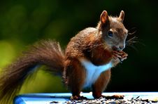 Free Squirrel, Fauna, Mammal, Rodent Royalty Free Stock Photos - 100573168