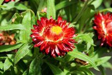 Free Flower, Blanket Flowers, Plant, Flora Stock Photos - 100573243