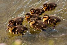 Free Duck, Bird, Fauna, Ducks Geese And Swans Stock Photo - 100573270