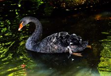 Free Black Swan, Water Bird, Ducks Geese And Swans, Fauna Stock Images - 100573274