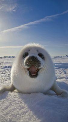 Free Arctic Ocean, Seals, Arctic, Marine Mammal Stock Image - 100573311