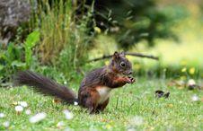 Free Squirrel, Mammal, Fauna, Fox Squirrel Royalty Free Stock Photos - 100573418